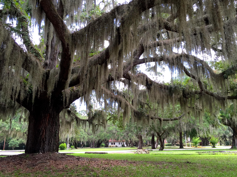Penn Center tree
